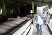 Thái Bình và Nam Định chuẩn bị cho xuất khẩu thịt lợn