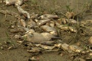 Đã xác định nguyên nhân khiến cá chết hàng loạt tại Quảng Ngãi