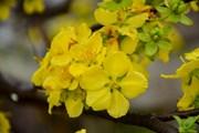 Lễ hội hoa Anh đào-Mai vàng Yên Tử diễn ra sớm hơn dự kiến