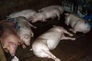 Đồng Nai phát hiện cơ sở bơm nước vào lợn trước khi đưa đi giết mổ