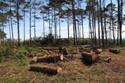 Đắk Nông khởi tố cán bộ kiểm lâm địa bàn trong vụ phá rừng thông