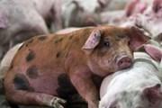 Phát hiện mới: Virus gây tiêu chảy ở lợn có nguy cơ lây sang người