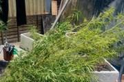 Đắk Nông: Tiêu hủy hơn 1.000 cây cần sa tại huyện Krông Nô