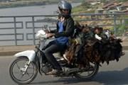 Campuchia phát hiện gà nhiễm virus cúm gia cầm H5N1 ở Kampong Cham