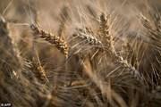 Nhật Bản dỡ bỏ lệnh cấm nhập khẩu lúa mỳ của Canada hồi tháng trước