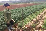 """Hà Nội: """"Giải cứu"""" hơn 1.000 tấn củ cải trắng ế ẩm trong 5 ngày tới"""