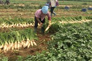Giải cứu củ cải trắng: Chuyện mạn tính ngành nông nghiệp