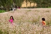 Đồng Văn dự kiến đón hàng trăm nghìn du khách mùa hoa tam giác mạch