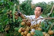 Việt Nam có thể được xuất khẩu nhãn tươi sang Australia từ năm 2019