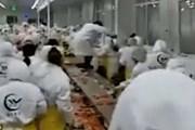 """[Video] Cuộc """"hỗn chiến"""" trong dây chuyền chế biến tôm hùm"""