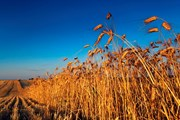 Hàn Quốc, Nhật Bản tạm ngừng nhập khẩu lúa mỳ của Canada