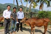 Vietcombank tặng 100 con bò giống cho các hộ nghèo tỉnh Kon Tum
