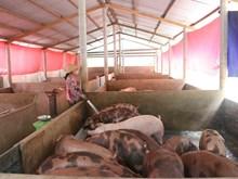 Giá thịt lợn vẫn ở mức thấp - nhiều hộ chăn nuôi dừng tái đàn