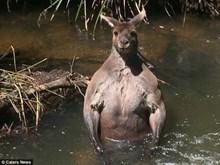 Con chuột túi bỗng dưng nổi tiếng khi khoe cơ bắp cuồn cuộn dưới sông