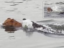 [Video] Bị cá sấu dìm xuống nước, sư tử vẫn thoát chết thần kỳ