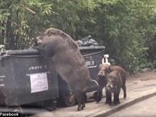 [Video] Lợn rừng khổng lồ xuất hiện gần trường học lục lọi tìm thức ăn