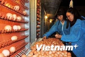 Đầu tư hơn 800 tỷ đồng sản xuất trứng gà công nghệ cao tại Phú Thọ