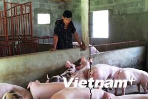 """""""Thủ phủ"""" nuôi lợn của miền Bắc: Nhiều người dân """"mất cả chì lẫn chài"""""""