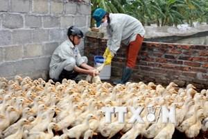 Cả nước còn 6 ổ dịch cúm gia cầm H5N1 tại 4 tỉnh