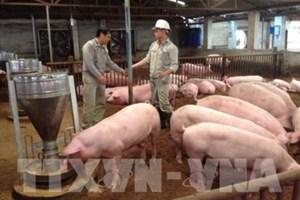 """Người chăn nuôi lợn khó bắt mối """"đầu ra"""" với doanh nghiệp"""