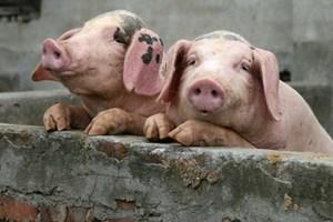 Công ty chăn nuôi Trung Quốc cũng lao đao vì giá thịt lợn giảm
