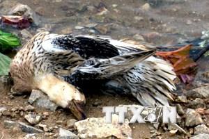 Hà Tĩnh tiêu hủy hàng trăm con gia cầm nhiễm virus cúm H5N6
