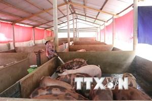 Đồng Nai: Người chăn nuôi bị mang tiếng oan, giá lợn lại giảm sâu