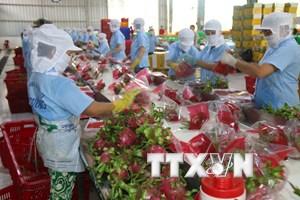 [Video] Australia bắt đầu nhập khẩu sản phẩm thanh long Việt Nam