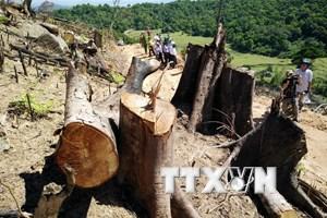 Vụ phá rừng quy mô lớn ở Bình Định: Làm rõ và xử lý đối tượng chủ mưu