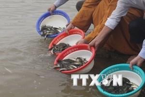 Việt-Trung thả 43 triệu con cá giống để bảo tồn thủy sản Vịnh Bắc Bộ