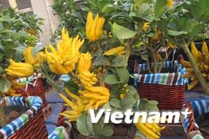[Photo] Phật thủ Đắc Sở rộ vàng sắc nắng đón Xuân Ất Mùi