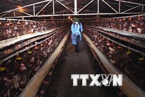 Phát hiện ổ dịch cúm A/H5N1trên đàn gia cầm tại tỉnh Bạc Liêu