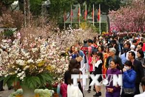 Hà Nội: Kéo dài không gian trưng bày hoa anh đào thêm 1 ngày
