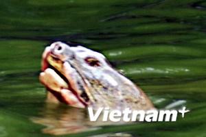 Thả bè thủy sinh, giảm ô nhiễm cho Rùa Hồ Gươm