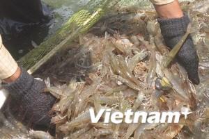 Mỹ giảm thuế chống bán phá giá cho tôm Việt Nam