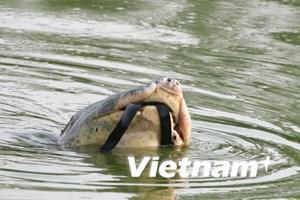 """Từ chuyện cứu rùa: Còn nhiều """"cụ"""" khác cần bảo vệ"""