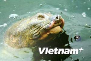 Đưa rùa Hồ Gươm lên bờ sớm hơn với kế hoạch