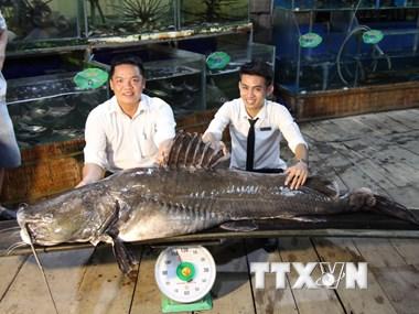 """Cận cảnh cá lăng """"khủng"""" hơn 100kg bắt được trên sông Tiền"""