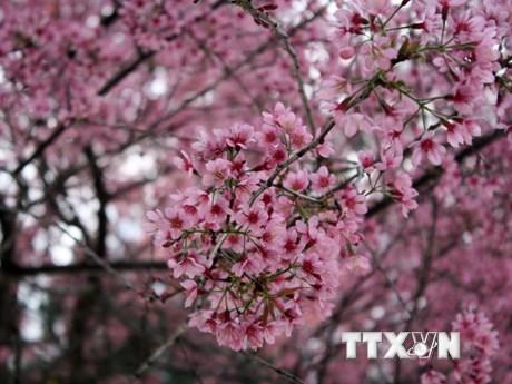 [Photo] Mai anh đào hút khách du lịch lên phố núi Đà Lạt