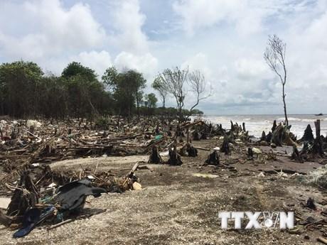 [Photo] Nhiều diện tích rừng phòng hộ đê biển mất trắng do xâm thực