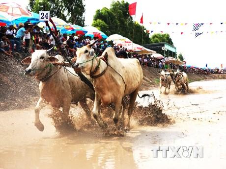 [Photo] Về An Giang để chứng kiến lễ hội đua bò Bảy Núi