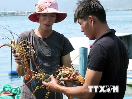 Hình ảnh khám phá 'vương quốc' tôm hùm Nam Trung Bộ