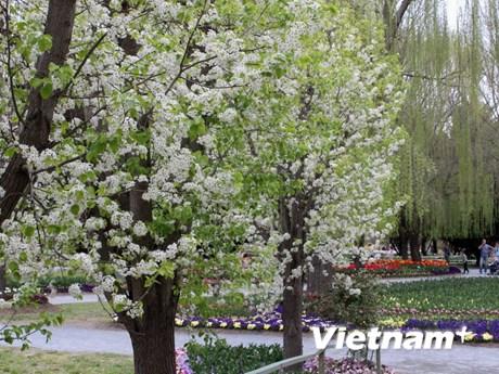 [Photo] Ngắm sắc hoa Xuân rực rỡ tại Tulip Top Gardens