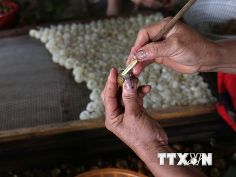 Cận cảnh những công đoạn chế biến long nhãn tại Hưng Yên