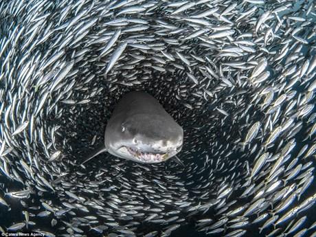 """[Photo] Khoảnh khắc cá mập hổ bơi giữa """"quả cầu thức ăn khổng lồ"""""""