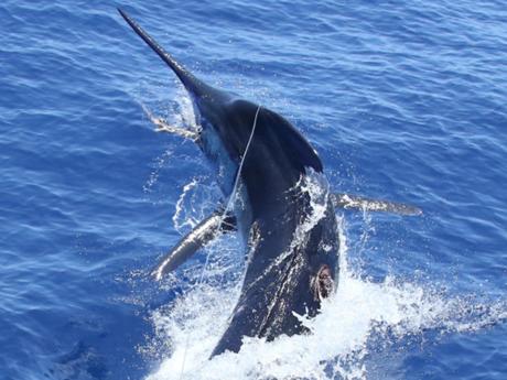 Ngư dân chinh phục con cá cờ xanh khổng lồ, nặng gần 500kg
