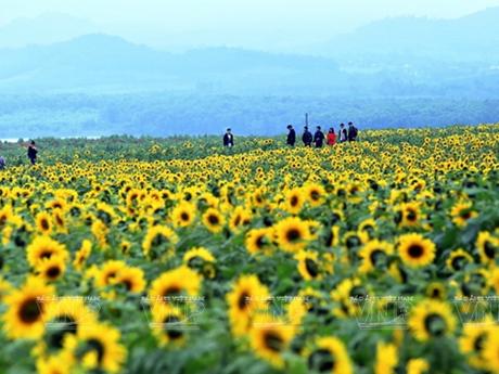 """Cánh đồng hoa """"Mặt Trời"""" rực rỡ thắp sáng cả mùa Đông Nghệ An"""