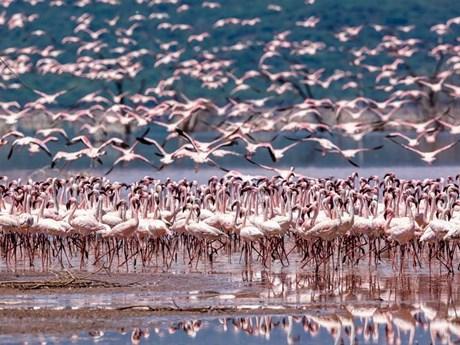 Ảnh đẹp trong tuần: Mê đắm với vũ khúc hồng hạc ở hồ Bogoria