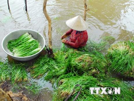 [Photo] Đặc sản hẹ nước trên vùng lúa Đồng Tháp Mười