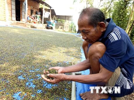 Nông dân vùng Đông Nam bộ điêu đứng vì hồ tiêu mất giá